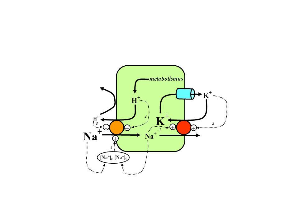 metabolismus K+ H+ + 4 K+ H+ - 3 2 1 + + Na+ Na+ 5 [Na+]e-[Na+]i +